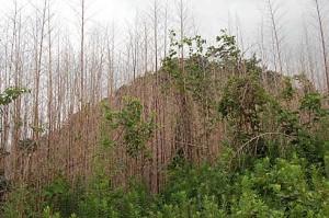 薬剤注入された竹稈。